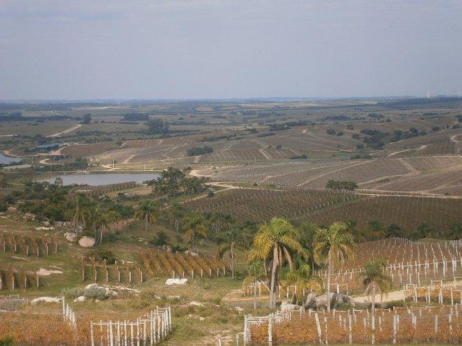 Uruguay%20-%20Vinyards