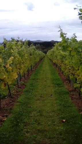 Wineyard%20row